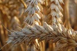 Droogte drijft tarweprijs wat op; kwaliteit is goed