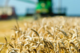 Nieuwe oogst tarwe van goede kwaliteit