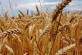 Stand tarwe in VS verslechtert opnieuw