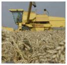 FAO: wereldgraanoogst bijna naar record