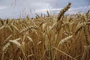 'Wereldgraanprijzen dalen in 2010/2011
