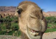 Giel Beelen test Kamelenbrood live op radio