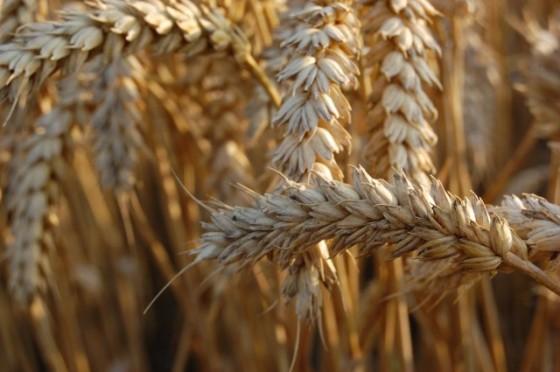 Minder paniek rondom tarweprijs
