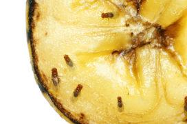 Tips tegen fruitvliegjes: Hoe kan je ze weren en bestrijden?