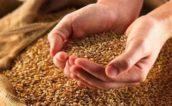 Meneba: voldoende bruikbare maaltarwe